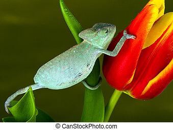 camaleão, tulipa
