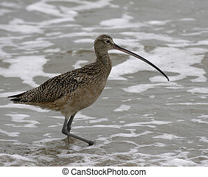 Long-billed Curlew - Long-billed curlew wading in surf