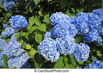 Hydrangea macrophylla - Close up Hydrangea macrophylla in...