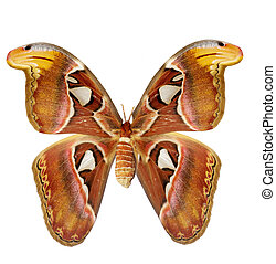 moth - The huge moth isolated on a white background, its...
