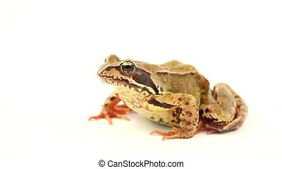 brown frog on a white background