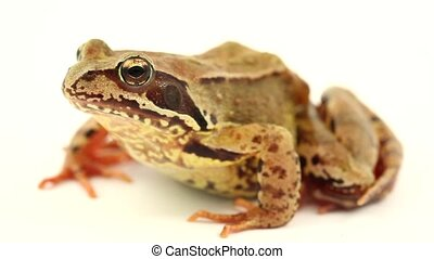 brown frog on white - brown frog facing left on a white...