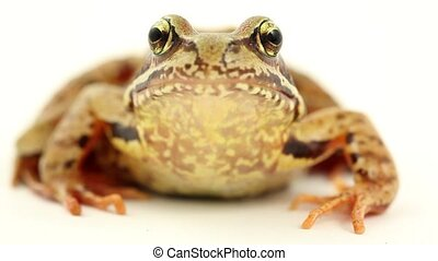 brown frog on white - brown frog facing front on a white...