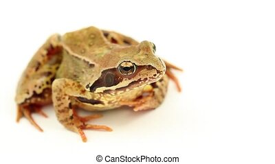 brown frog on white - brown frog facing right on a white...