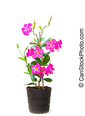 Mandevilla (Dipladenia) in the pot, isolated