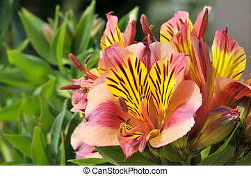 Peruvian lily flower - Macro of red and yellow Peruvian lily...