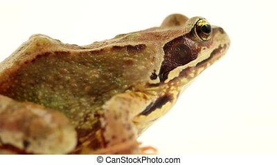brown frog on a white background facing right