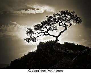 Lonely tree - Lonely mountain tree at Sokolica Mountain in...