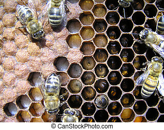 Bees and their larvae. - On the right - there are larvae of...