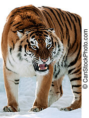 Siberian Tiger Growling - The Siberian tiger (Panthera...