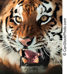 Siberian Tiger Growling - The Siberian tiger Panthera tigris...