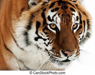 Siberian Tiger - The Siberian tiger Panthera tigris altaica...
