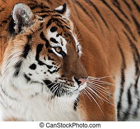 Siberian Tiger - The Siberian tiger (Panthera tigris...