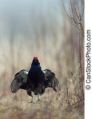 Black Grouse  (Tetrao tetrix) at lek. Spring.  Russia.