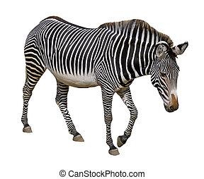 Isolated Grevy zebra - Grevy zebra (Equus grevyi) walking...