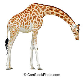 Isolated giraffe - Giraffe Giraffa camelopardalis saw of...
