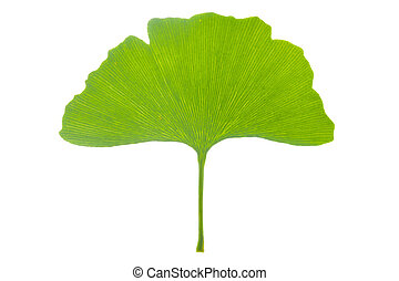 ginkgo tree - isolated leaf of ginkgo tree