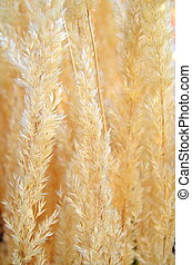 Background Texture Of Pampas Grasses