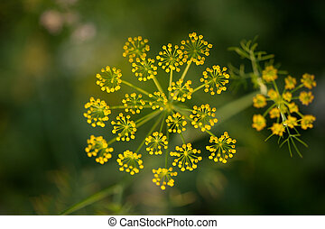 Flower of fennel close up during flowering from top