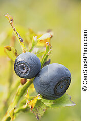 A pair of blueberries on the bush. Vertically. - A pair of...
