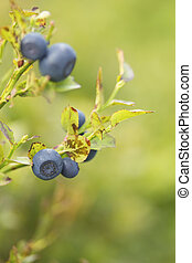 Bush of a ripe bilberry in the summer closeup Macro view...