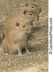 The group of capybara - The group of three capybara standing...