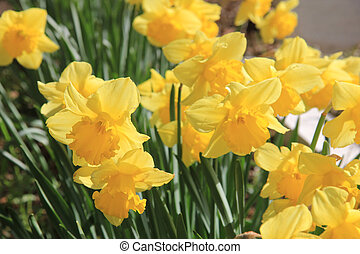 Bunch of yellow daffodils