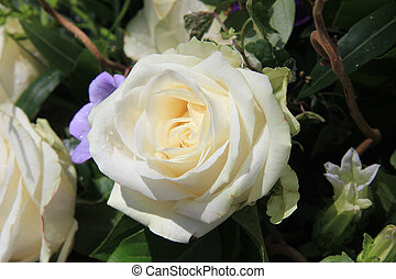 Single white rose - Big single white rose in the sunlight
