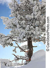 Snow covered tree on a sunny day