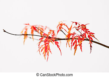 Bonsai - A branch of a Japanese cutleaf maple tree