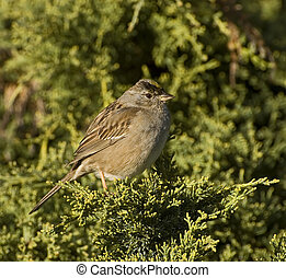Immature golden crowned sparrow perched on a pine tree