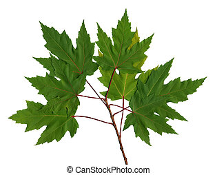 Branch maple - Green branch maple on the isolated white...