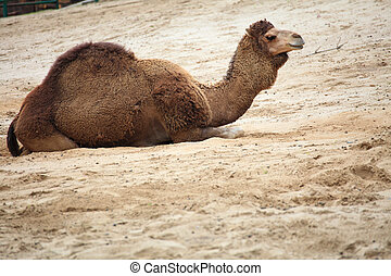 camel in the desert animal outdoor
