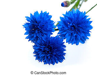 Blue Cornflower Flower Centaurea cyanus, isolated on White...