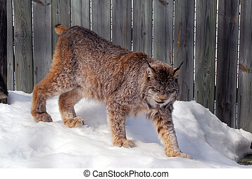 Canada Lynx - Close-up picture of a canada Lynx in captivity