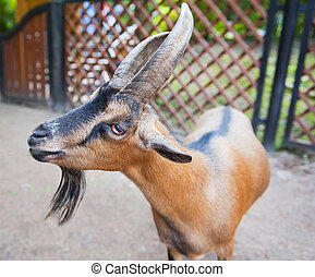 Goat - Horned goat