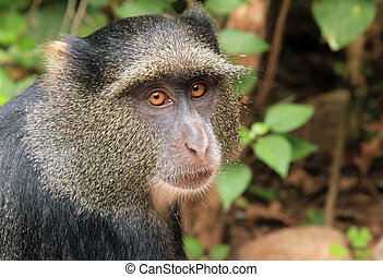 Close-up of a Blue Monkey Cercopithecus Mitis, Lake Manyara,...