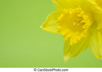 Bunch of yellow spring daffodils against green background