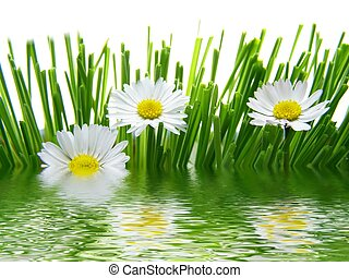 daisies reflected in water - Close-up of field of white...