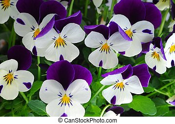 viola tricolor - close-up of colourful viola tricolor as a...