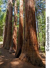 Yosemite National Park - Mariposa Grove Redwoods -...