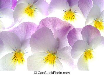 colourful viola tricolor