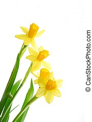 spring daffodils - Bunch of yellow spring daffodils against...