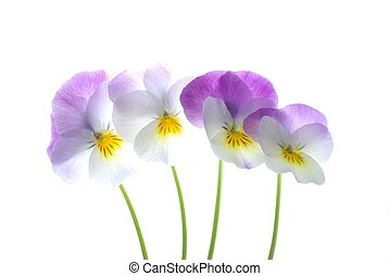 colourful viola tricolor - close-up of colourful viola...