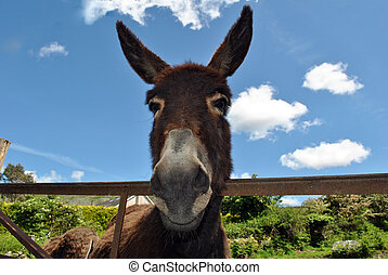 cute brown donkey looking over a rusty steel gate in wicklow...