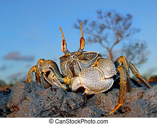 Ghost crab on rocks - Ghost crab (Ocypode spp.) on coastal...