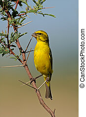 Yellow canary Serinus mozambicus perched on a branch,...