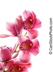 dark pink orchid - close-up of dark pink orchid against...