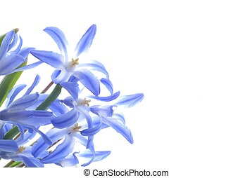 blue spring scilla - Close-up of blue spring scilla against...