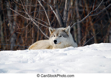 Gray Wolf - Picture of a Gray Wolfe sleeping in the snow